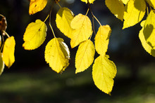 Yellow Curtain Of Leaves