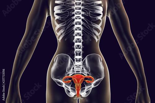 Valokuva  Anatomy of female reproductive system, 3D illustration