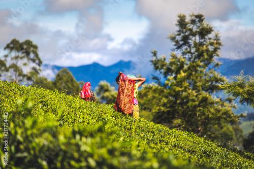 Photo  Cueilleuse de feuilles dans les plantations de Thé Sri Lanka
