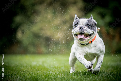 Photo  The French Bulldog