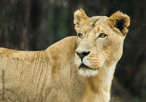 Foto  A lioness photographed in South Africa