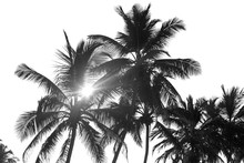 Black And White Palm Trees On ...