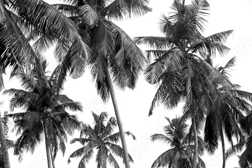 black-and-white-palm-trees-on-white-isolate-background