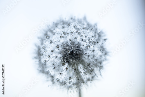 Poster Paardenbloem Close-up of wet dandelion seed against sky during rainy season