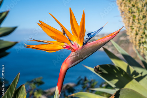 Foto op Aluminium Waterlelies Strelitzia flower, the national flower of the island of Madeira