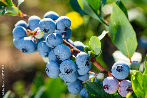 Fresh Organic Blueberries on the bush. close up Fototapeta