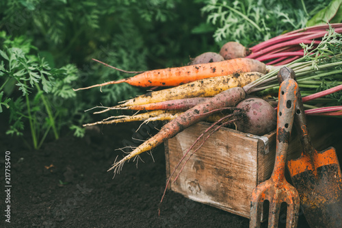Organic vegetables. Carrots and beets in a wooden box in the garden. Harvest.