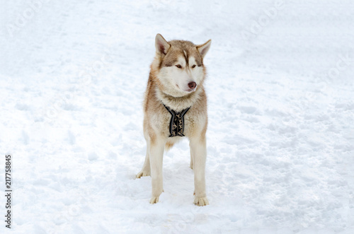 Sled Dog Siberian Husky Breed Is Standing On Snow Husky Dog Has