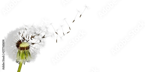 Dandelion with blowing seeds, on  background
