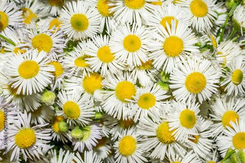 Fotobehang Bloemen texture of flowers chamomiles close-up of a summer still life