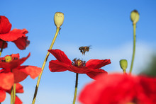 Natural Summer Background With Small Honey Bee Flies And Collects Nectar With Red Beautiful Poppy Flowers On A Clear Day With Blue Sky