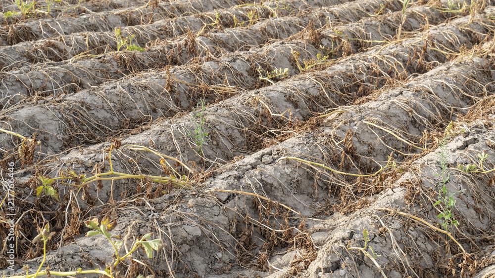 Fototapeta Ackerbau in Deutschland. Im heißen Sommer vernichtet die Trockenheit die angebauten Pflanzen. Die Pflanzen liegen vertrocknet in den Reihen auf dem ausgetrockneten, krustigen Erdboden.