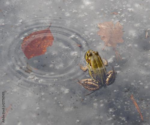 anomalia pogodowa, żaba wystająca z lodu w otoczeniu liści Wallpaper Mural