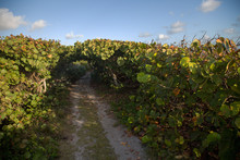 A View Of An Empty Coastal Road, Winding Through The Sea Grape Trees.