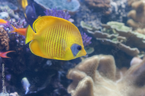 Fotobehang Onder water The blue-cheeked butterflyfish, Chaetodon semilarvatus swimming inside aquarium