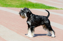 Miniature Schnauzer In Profile. The Miniature Schnauzer Is In The City Park.