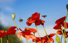 Natural Summer Background With Little Honey Bees Fly And Collect Nectar With Red Beautiful Poppy Flowers On A Clear Day With Blue Sky
