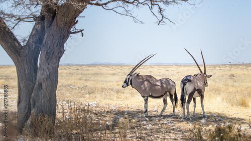 Poster Antelope ORIX antilope Parc national Etosha en Namibie Safari