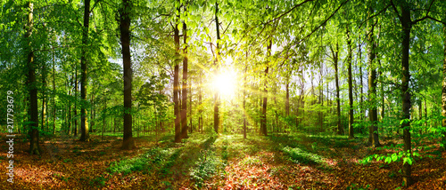 Poster Bomen Beautiful forest in spring with bright sun shining through the trees