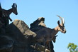 mountain goat with large long horns blue sky bright sun zoo