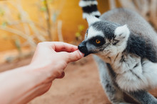 Ring-tailed Lemur Feeding In C...