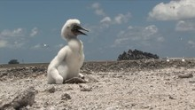 Blue Footed Booby Baby Venting To Stay Cool In The Heat Of Clipperton Atoll