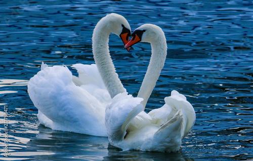 Fototapeta Beautiful swan love heart symbol