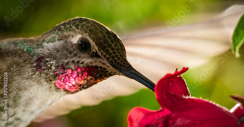 Fotografie, Obraz Head shot of hummingbird with reflective red chin