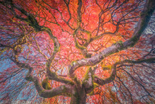 The Old Japanese Maple In Autumn Colors