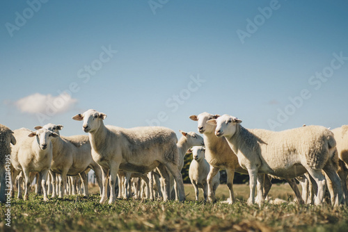 Photo sur Aluminium Sheep Australian sheep