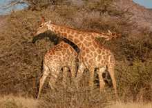 Two Young Adult Male Giraffes ...