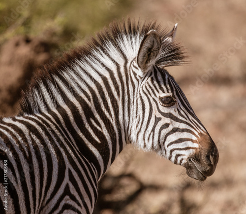 Foto op Plexiglas Zebra Close-up profile of a zebra