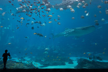 One Child Silhouetted In Front Of Whale Shark Tank