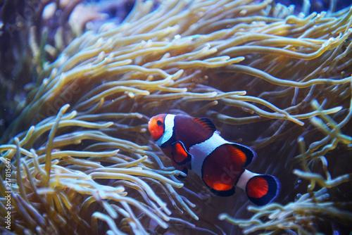 Obraz na dibondzie (fotoboard) kolorowe ryby klaun w rafie koralowej