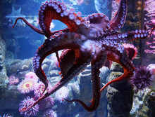 Close Up On Live Octopus In Th...