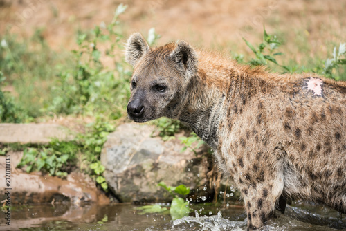 in the water there are two Hyena's playing and enjoying their dive
