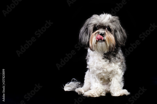 Vászonkép  Studio portrait of a cute grey, black and white Bichon Havanese dog licking its lips against black background