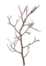 Beautiful Dry Branch Of Tree Isolated On White Background