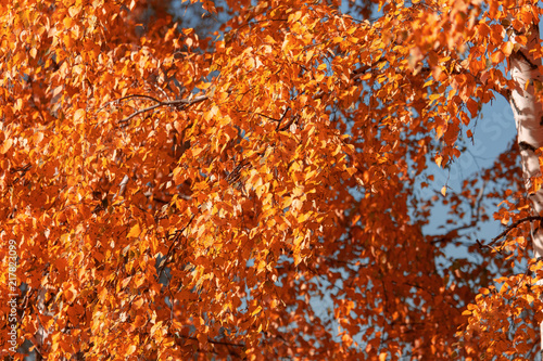 Keuken foto achterwand Rood traf. Red leaves on birch trees in autumn