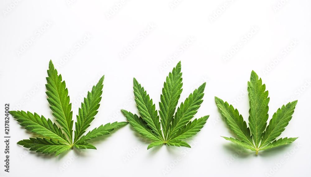 Fototapety, obrazy: Marijuana plant at outdoor cannabis farm field.