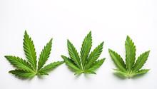Marijuana Plant At Outdoor Can...