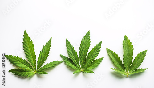 Marijuana plant at outdoor cannabis farm field. Canvas Print