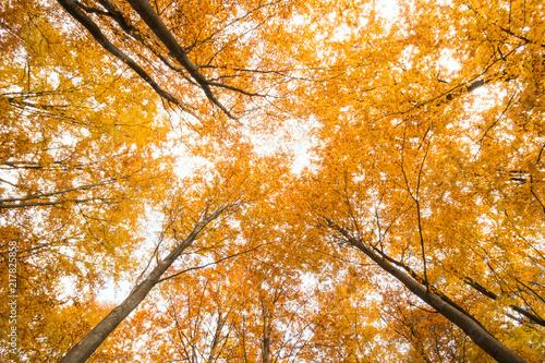 Foto op Canvas Herfst Beautiful, autumn , beech forest,shot from below.Pomerania ,Poland