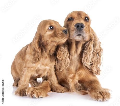 Obraz puppy and mother cocker spaniel - fototapety do salonu