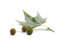 Plane Tree, Sycamore Leaf And Flowers Isolated On White Background