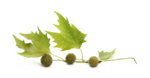 Plane Tree, Sycamore Leaves And Flowers Isolated On White Background