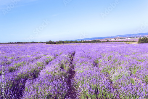 Tuinposter Purper Lavender Field in the summer
