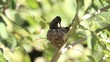 North American hummingbirds raising young fledglings in a nest