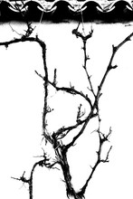 Grape Vine Tied To A Roof In Winter Time.