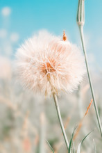 Beautiful Floral Background With Dandelion Flowers In Summer Over Blue Sky